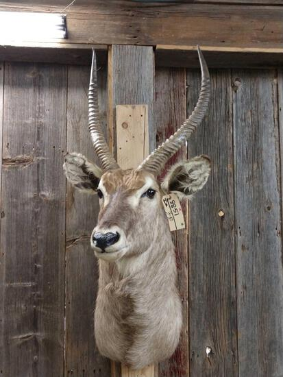African Waterbuck Shoulder Mount Taxidermy