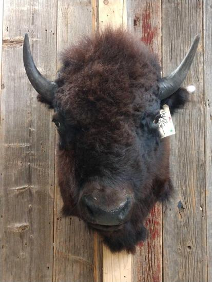 Bison Buffalo Shoulder Mount Taxidermy