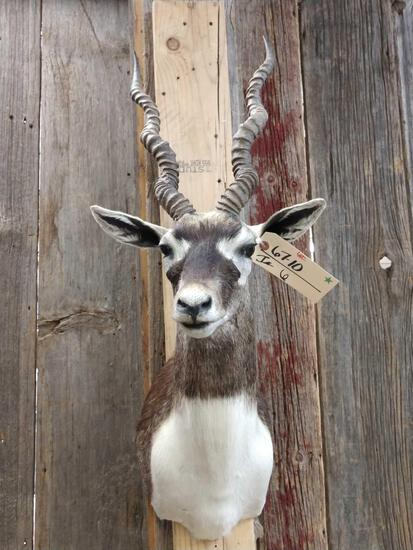 Indian Black Buck Shoulder Mount Taxidermy
