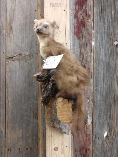 Pine Martin On A Limb Full Body Taxidermy Mount