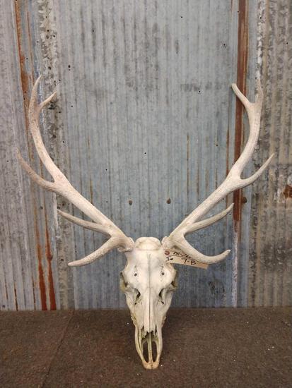 Smaller 5x5 Elk Skull