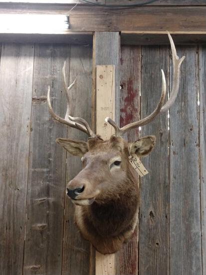 4x4 Elk Shoulder Mount Taxidermy