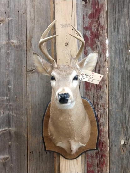 Smaller Whitetail Shoulder Mount Taxidermy