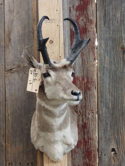 Pronghorn Antelope Shoulder Mount Taxidermy