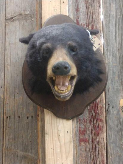 Black Bear Head Taxidermy