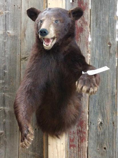 Black Bear Half Body Taxidermy