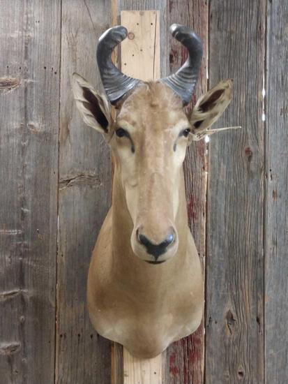 African Hartebeest Shoulder Mount Taxidermy