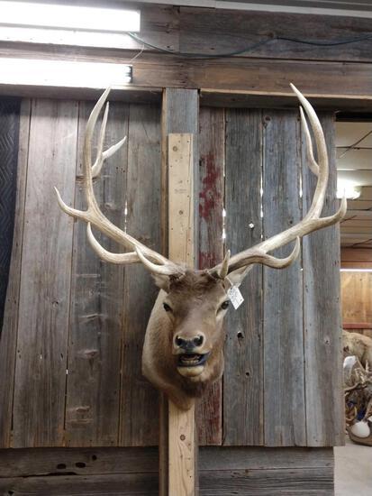 Big 6x6 Elk Shoulder Mount Taxidermy