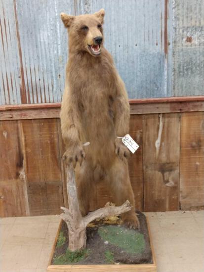 Blonde Phase Black Bear Full Body Taxidermy Mount