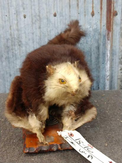 Japanese Giant Flying Squirrel Full Body Taxidermy Mount