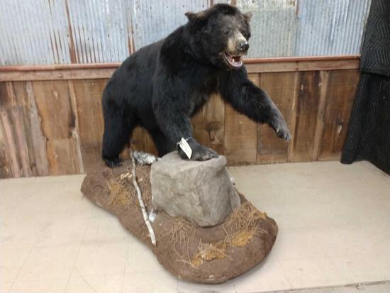 Black Bear Full Body Taxidermy Mount