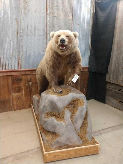 Grizzly Bear Full Body Taxidermy Mount
