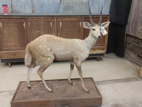 African Bush Buck Full Body Taxidermy Mount