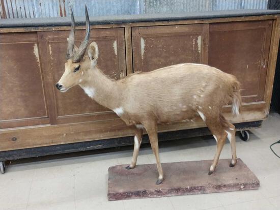 African Bush Buck Full Body Taxidermy and