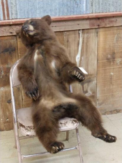 Juvenile Black Bear Full Body Taxidermy Mount