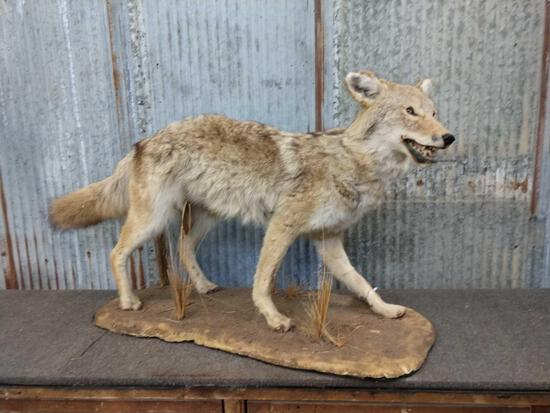 Coyote Full Body Taxiderpy Mount