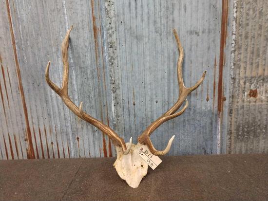 4x5 Elk Antlers On Skull Plate