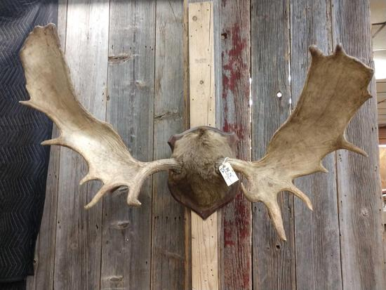 "52"" Moose Antlers On Plaque"