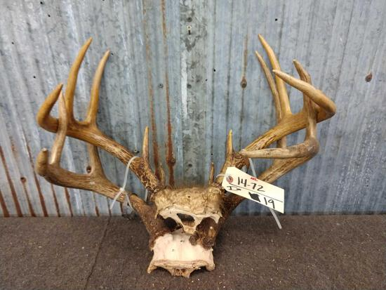 2 Sets Of Whitetail Antlers On Skull Plate