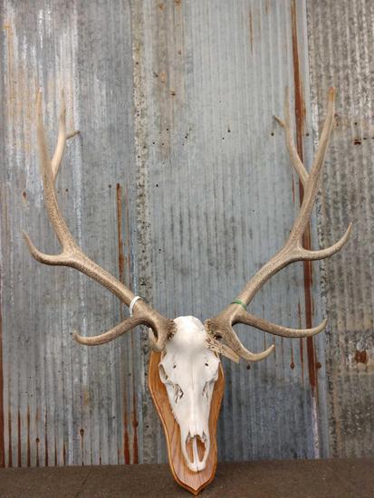 6x6 Elk Antlers On Skull