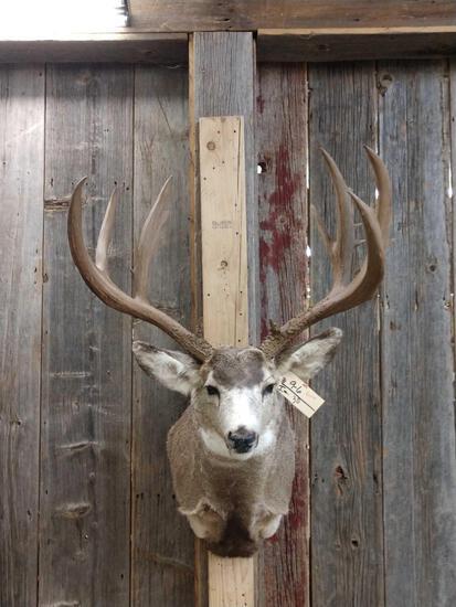 Big 5x5 Mule Deer Shoulder Mount Taxidermy