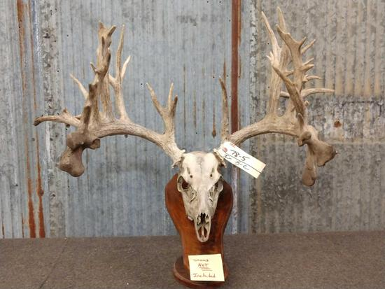 High 200 Class Whitetail Antlers On Skull