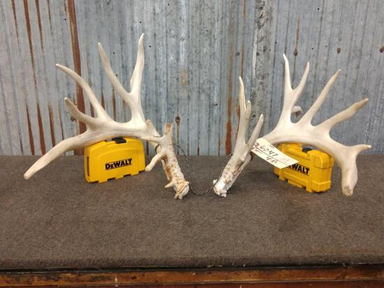 180 class Whitetail shed antlers