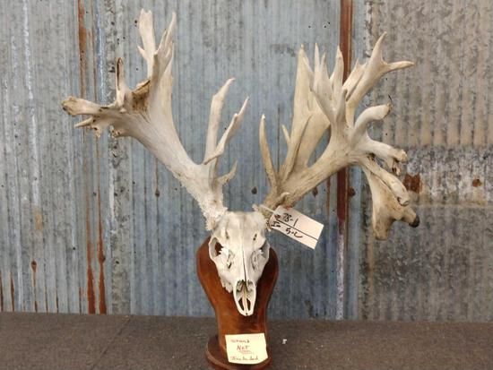 HUGE 309 Class Whitetail Antlers On Skull