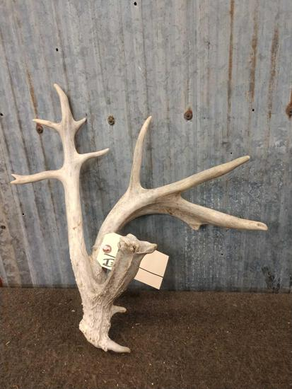 Crazy Double Beam Whitetail Shed Antler