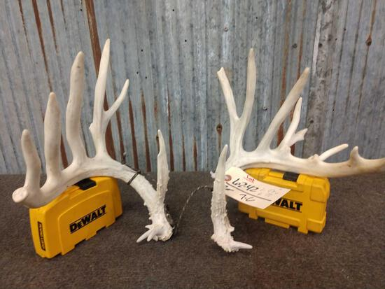 Cool set of mini monster Whitetail sheds