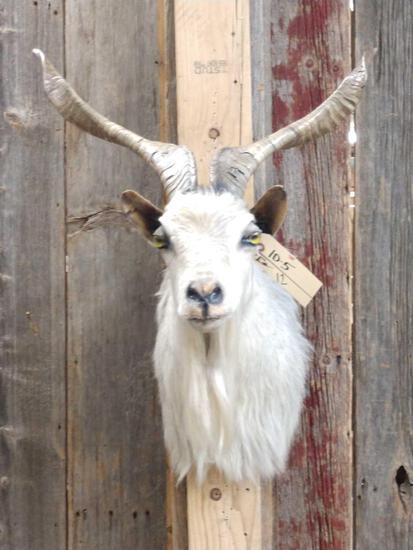 Spanish Goat Shoulder Mount Taxidermy