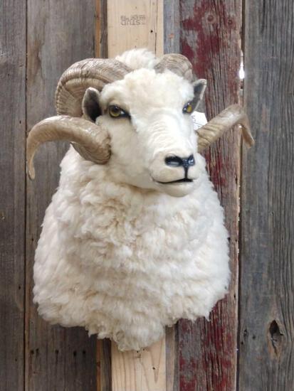 Merino Ram Sheep Should Mount Taxidermy