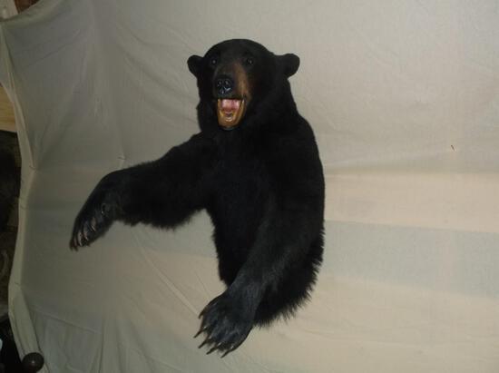 Nice Black Bear 3/4 Body Taxidermy Mount