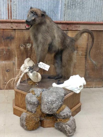Big African Baboon Full Body Taxidermy Mount