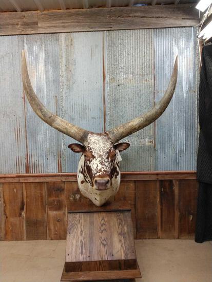 Giant Watusi Pedestal Taxidermy Mount