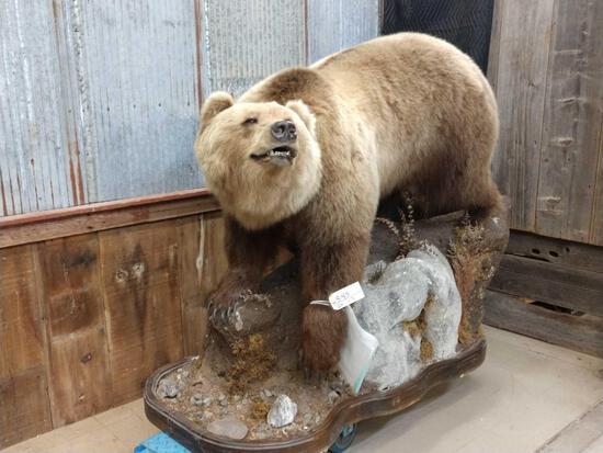 Alaska Grizzly Bear Full Body Taxidermy Mount