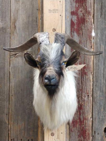 Spanish Goat Cross Shoulder Mount Taxidermy