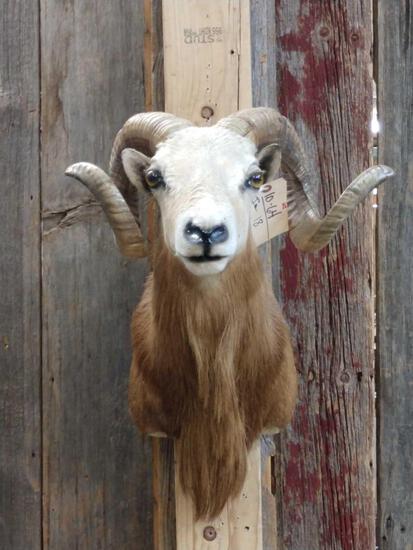 Shoulder Mount Ram Sheep Taxidermy