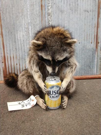 Raccoon Drinking Busch Light Taxidermy
