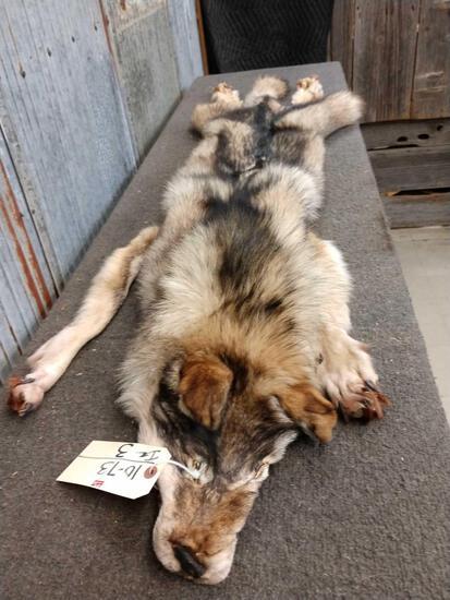 Canadian Wolf Pelt Taxidermy