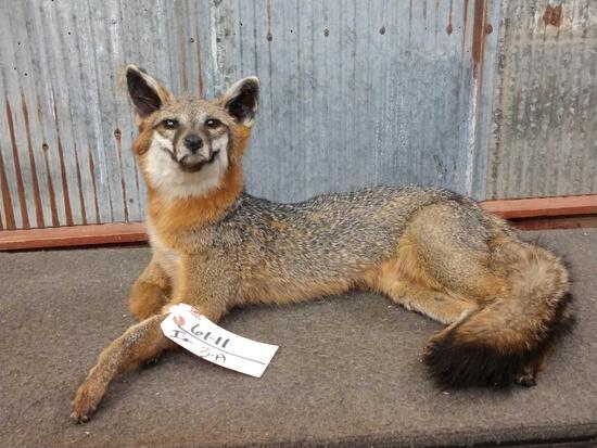 Grey Fox Full Body Taxidermy Mount