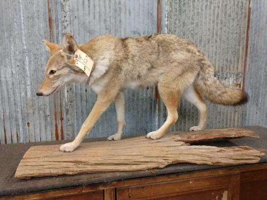 Coyote Full Body Taxidermy Mount