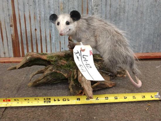 Juvenile Opossum Taxidermy
