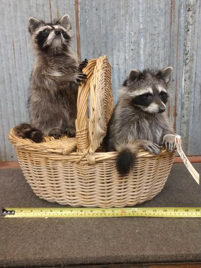 Mamma & Baby Raccoons Raiding A Pic Nic Basket