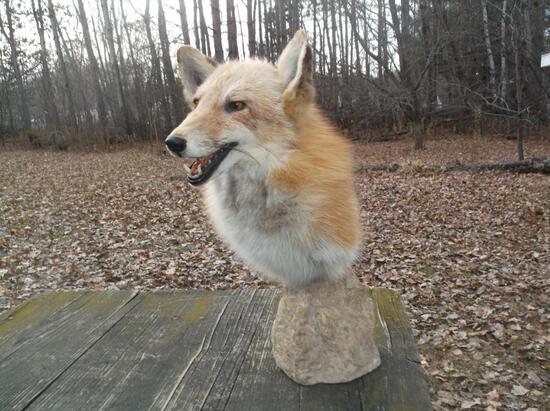 Red Fox Shoulder Pedestal Taxidermy