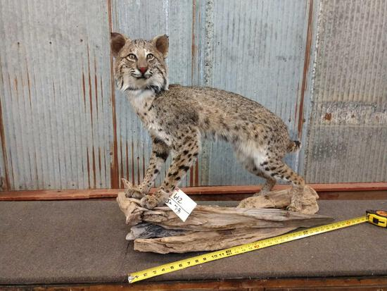 Bobcat full body Taxidermy mount