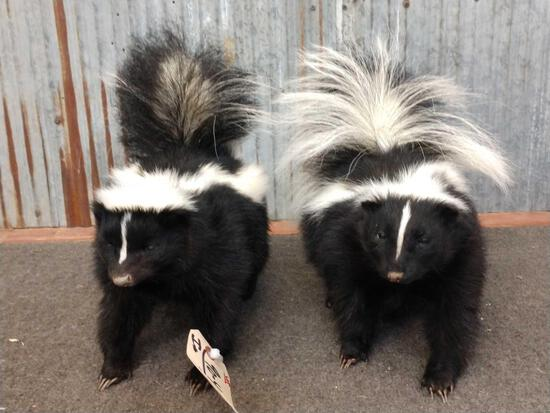 Pair Of Skunks Full Body Taxidermy
