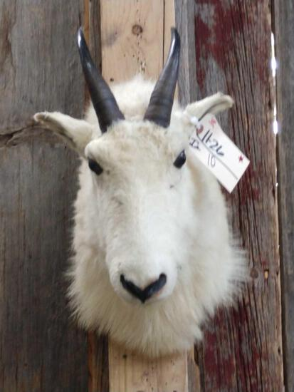 Mountain Goat Shoulder Mount Taxidermy