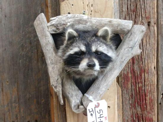 Raccoon In A Den Taxidermy