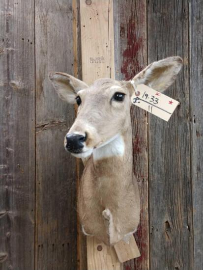 Whitetail Doe Shoulder Mount Taxidermy